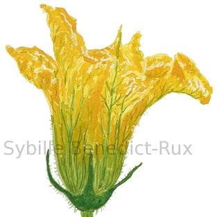 Aquarellillustration Zucchiniblüte