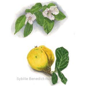 Botanische Illustration von Blüten und Frucht de ruitte